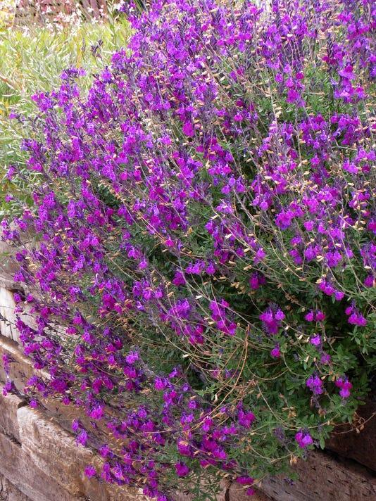 636506841760648485-Salvia-Ultra-Violet-over-wallCC-high-country-gardens.jpg