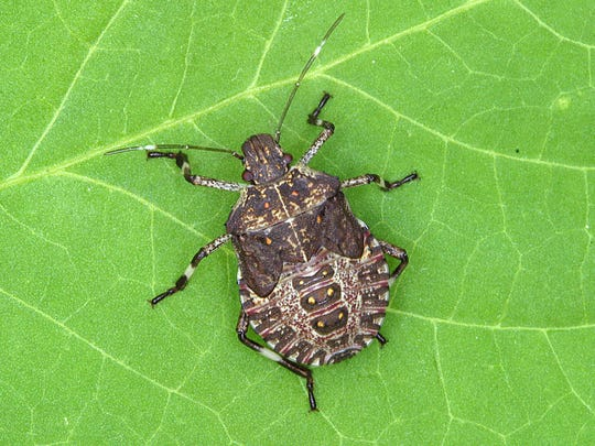 Stink bugs have plagued parts of the Garden State for the past decade.
