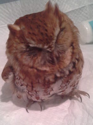 A screech owl that lost a lot of body weight because of the harsh winter.