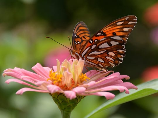 Late summer is perfect for watching butterflies, such as this Gulf Fritillary.