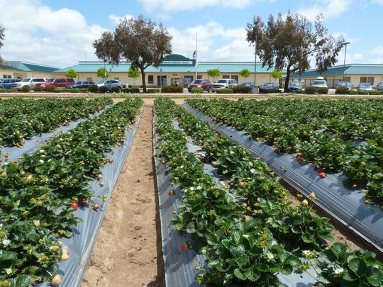 Rows of strawberries near McKinnon Elementary School. Pesticide 1,3-Dichloropropene (Telone) was used at ranches within a quarter mile in 2010, according to a state report.