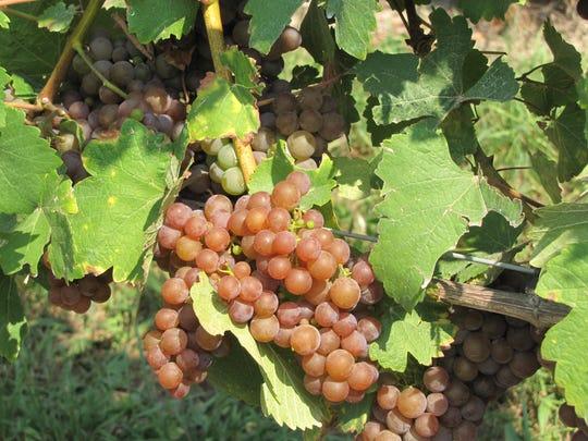 Grape clusters hang from vines near the Silver Thread Vineyard tasting room in Lodi, Seneca County, in 2015.