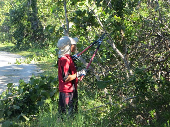 Property owners have the right to trim trees and hedges infringing on their property, but you may have to pursue civil measures if you hope to recoup the costs. In this file photo, a volunteer trims branches at Lovers Key State Park.