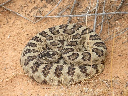 critters rattlesnake