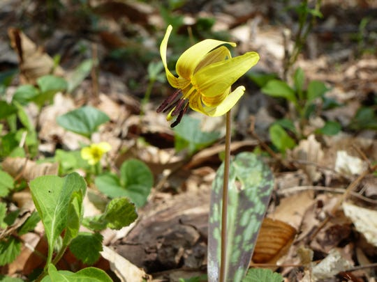 Trout lilies were named by local naturalist John Burroughs for their oblong, shiny, grayish green and brown-speckled leaves.