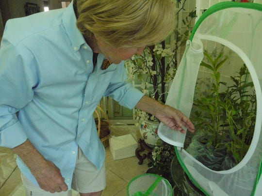 Stuart Wisong checks on monarch butterfly caterpillars feeding on milkweed inside a butterfly farm enclosure on his lanai.