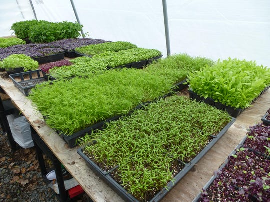 Black Hog Farmstead's microgreens take only seven days from planting to table.