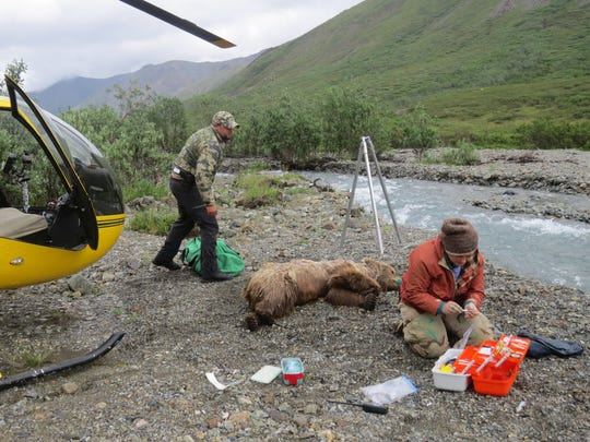 Biologists are gathering more data on bears as part of a model to estimate their population. A May attempt to estimate bear populations with an aerial survey was not successful.