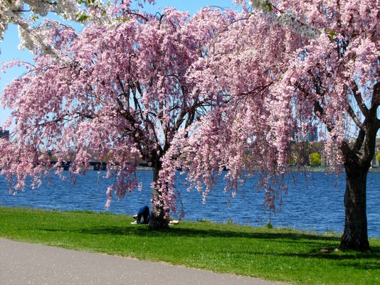 Cherry blossoms in full bloom along the Charles River