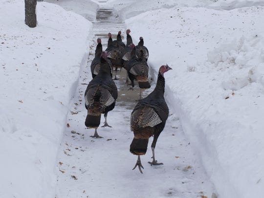Wild turkeys walk through a residential neighborhood in Moorhead, Minn., on Jan. 8.