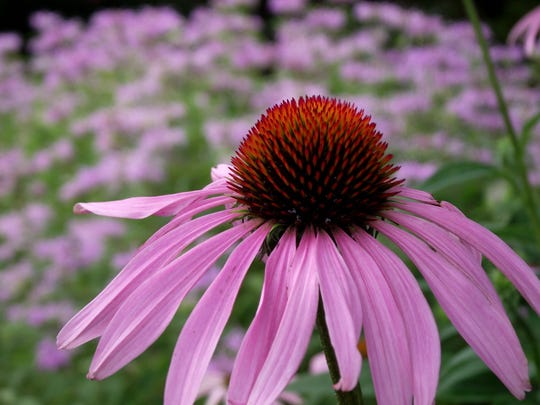Native prairie plants, such as this purple coneflower and wild bergamot, attract wildlife with their colorful blooms.