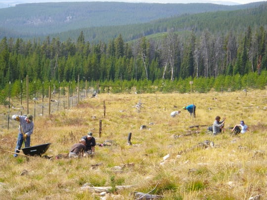 """Elite"" whitebark pines are planted in an orchard in Lewis and Clark National Forest."