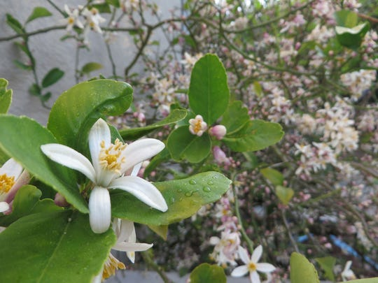 A Meyer lemon tree branch in full bloom.