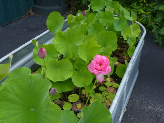 Lotus can be found in a trough in the Newark garden near University of Delaware.