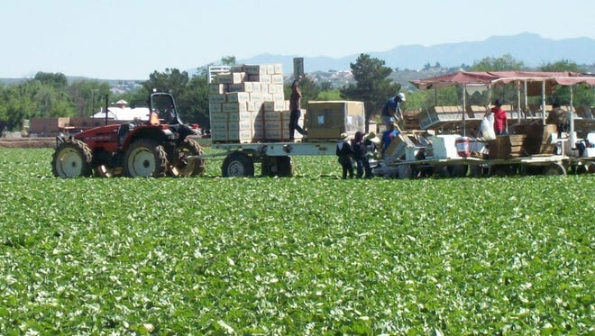 The spring lettuce harvest in the Mesilla Valley.