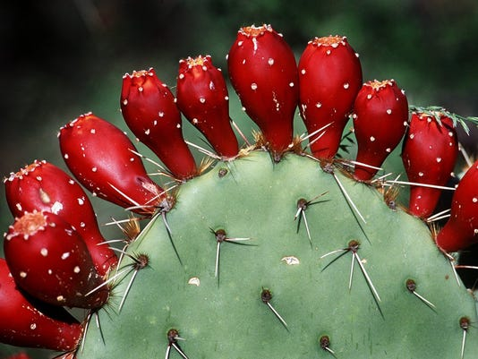 arizona is home to the prickly pear 11 weird useful or tasty things