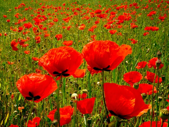 Poppy flowers stand in a meadow in Offenbach near Frankfurt, Germany, on May 23, 2018.