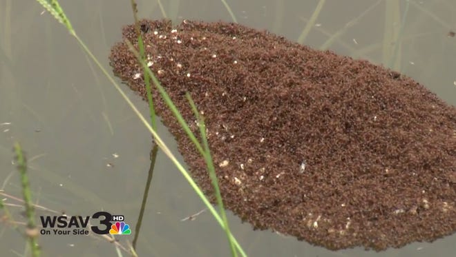 Thousands of ants float in South Carolina flood waters.