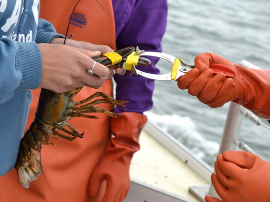 Tourists learn to band lobsters on a Lucky Catch cruise off the coast of Portland, Maine.