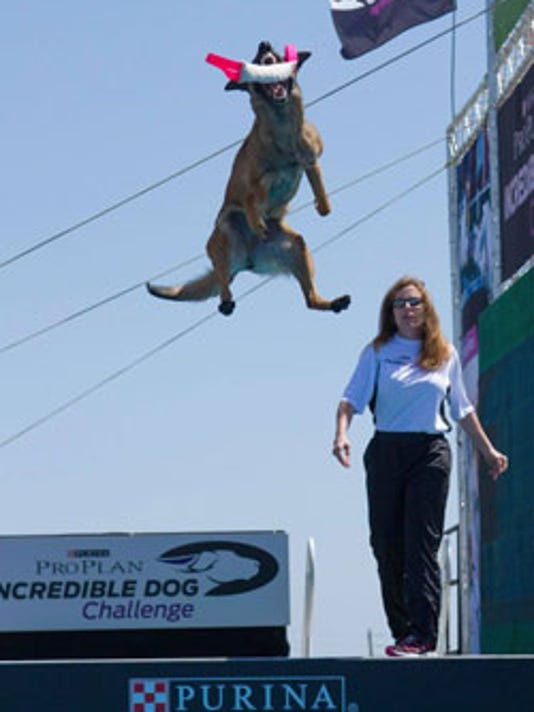 This year's Purina Pro Plan Incredible Dog Challenge National Finals feature Inde, a 2-year-old Belgian Malinois, breaking the Diving Dog World Record with a jump of 33 feet 10 inches.