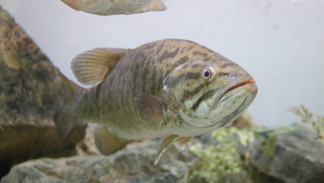 This smallmouth bass is one of many of the native Lake Erie fish on live display at the Aquatic Visitors Center on South Bass Island.