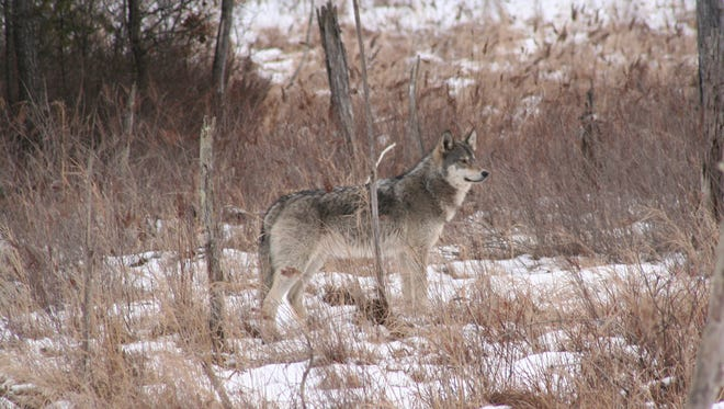 The timber wolf is at home in the forests of central Wisconsin. Wolf Awareness Week is this week, and the annual wolf hunt in Wisconsin kicks off Wednesday.
