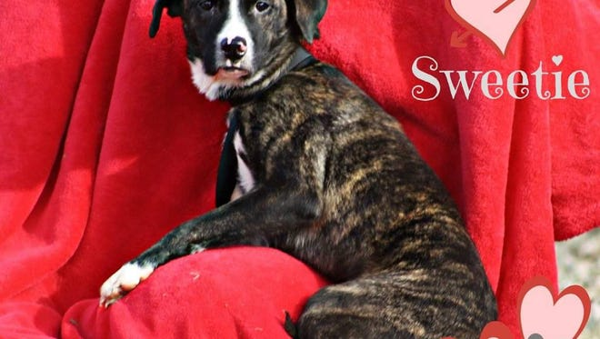 Sweetie is a 1 1/2 yr old sweetheart that would love to find a home of her own. She's beautiful and smart, having just graduated from WKCC's L.E.A.S.H program. While waiting for the right family to come along, she's hanging out at Mary Hall Ruddiman Shelter. Contact us to find out how to take her home.