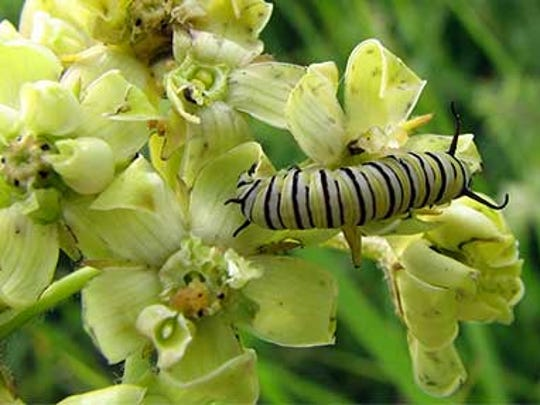 Monarch caterpillars depend on the milkweed plant for survival.
