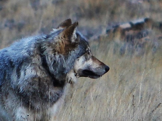 An animal seen north of the Grand Canyon on Oct 27, 2014.