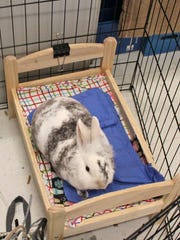 Therapy rabbit Mudders hangs out on his bed.