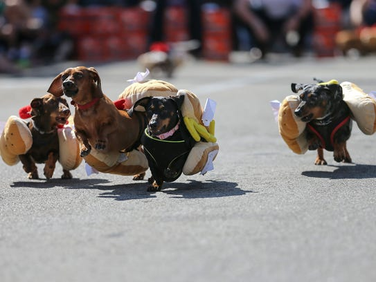 About 100 dachshund dogs raced in the 10th annual Running