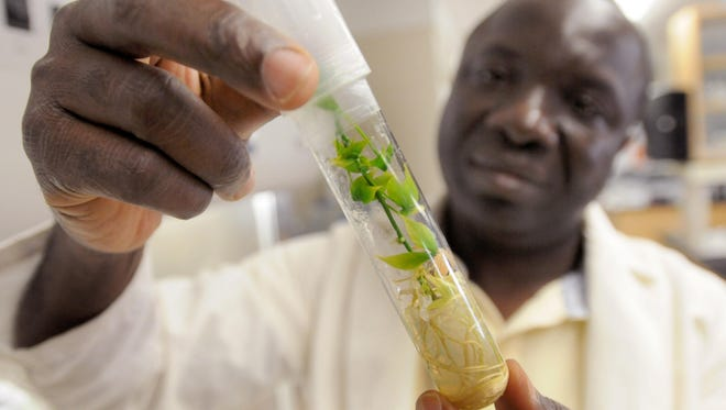 Professor Vincent Fondong studies the cassava plant in his research at Delaware State University.