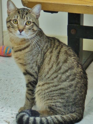 Todd  is a 2-year-old brown tabby boy who when he first arrived was a little shy. He tends to hide in his litterbox when he's not sure, but once he gets to know you, he just loves attention. Todd is looking for a home with people who will give him the time he needs to come around and acclimate to new a new environment. Once he was in our adoption area, he became quite the social butterfly, so Todd really does have the potential to be a wonderful companion. Can you give him the home he needs?
