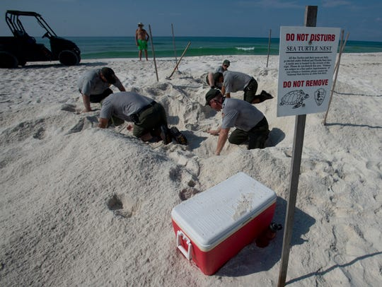National Park Service staff members seach the nesting