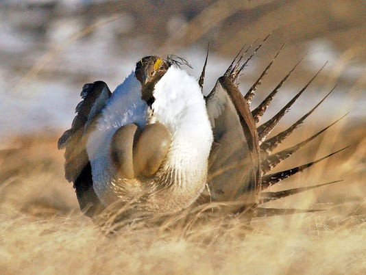 AP SAGE GROUSE A FILE USA WY