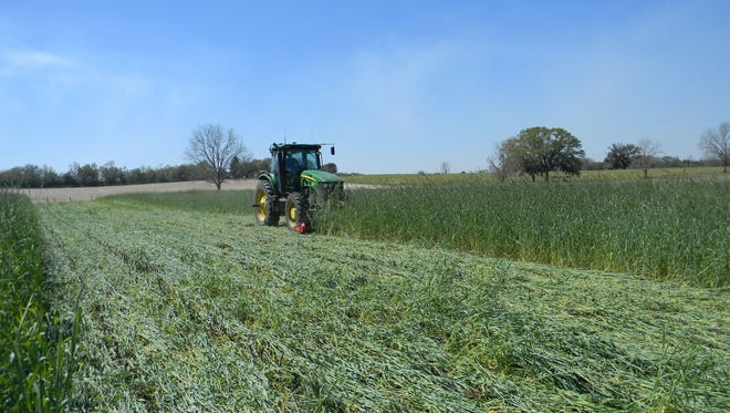 Suwannee County farmer Tamos Sapp rolls his field of rye in March to create a vegetative cover for his next crop in the spring. The practice reduces the chance of erosion and helps maintain moisture levels in the soil.