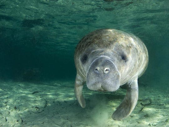 A Florida manatee.