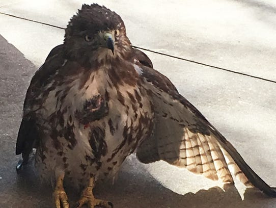 Injured red-tailed hawk on the ground beneath a glass