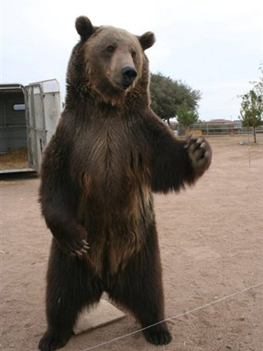 A grizzly bear, similar to this one in a California animal sanctuary, attacked a Montana man.