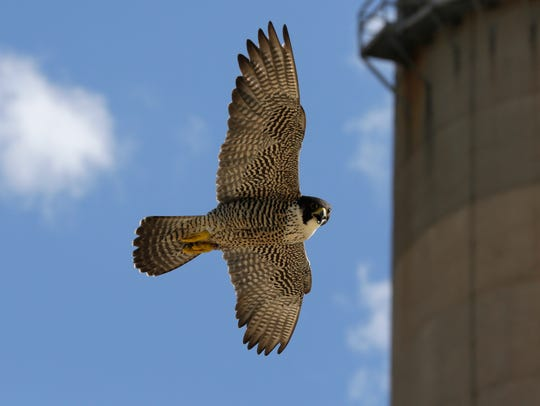 A Peregrine falcon soars by at the Weston Power Plant