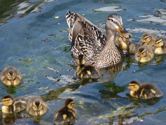 A mallard duck is seen with her young, yet another spring event.