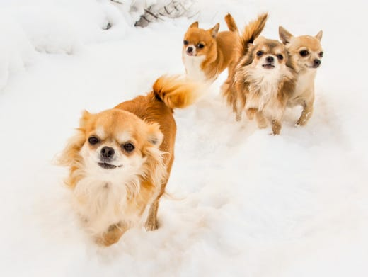 14. Chihuahuas • Average weight (male): 6 lbs. • Popularity