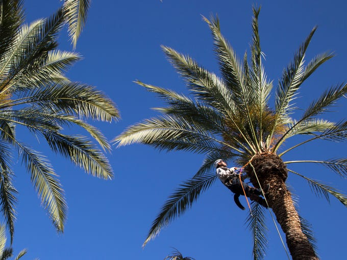 Phoenix dumps roughly 34,000 tons of palm fronds from