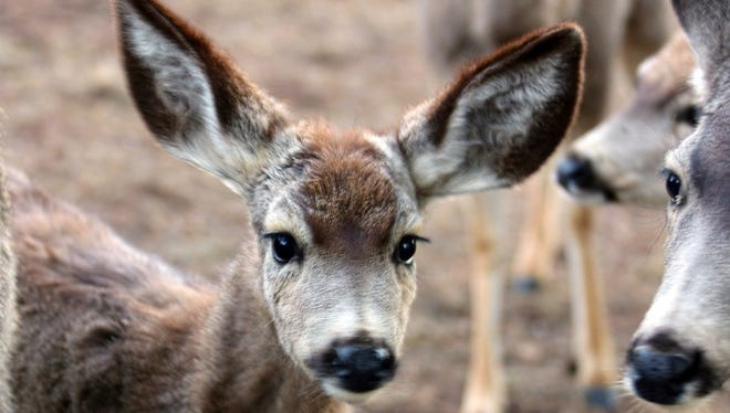 Her face sports more white and a bit of reddish brown on top with smoe of the biggest ears in the herd of mule deer.
