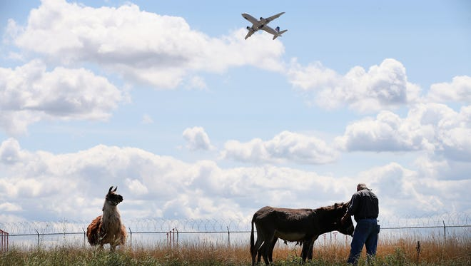 Burros and llama graze on a two-acre plot of land at Chicago O'Hare Airport on August 13, 2013.