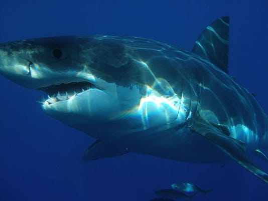Great white shark populations are dropping.