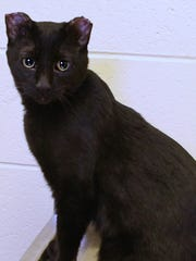 Stanley the cat is being cared for at the Michigan Humane Society's Westland clinic