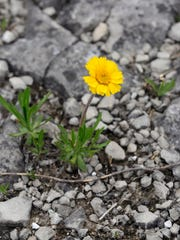 The Lakeside daisy blooms in the barren limestone bedrock in only a handful of places in the world, including Lakeside-Marblehead.