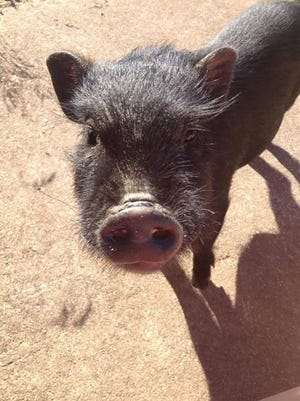 A northern Michigan family is upset after a state Department of Natural Resources officer fatally shot their pet potbelly pig that was on the loose.