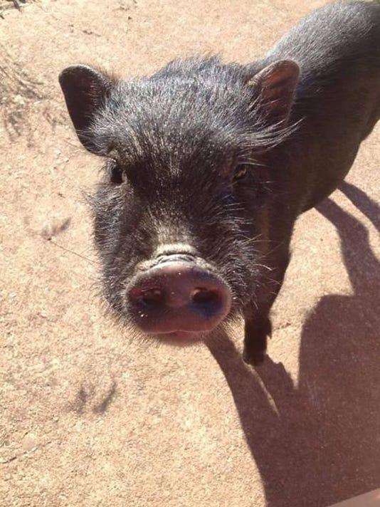635640044724517191-635639960990680770-pet-pig